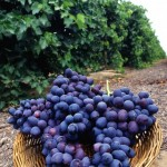 http://www.public-domain-image.com/cache/flora-plants-public-domain-images-pictures/fruits-public-domain-images-pictures/grapes-fruit-pictures/fresh-purple-grapes_w492_h725.jpg