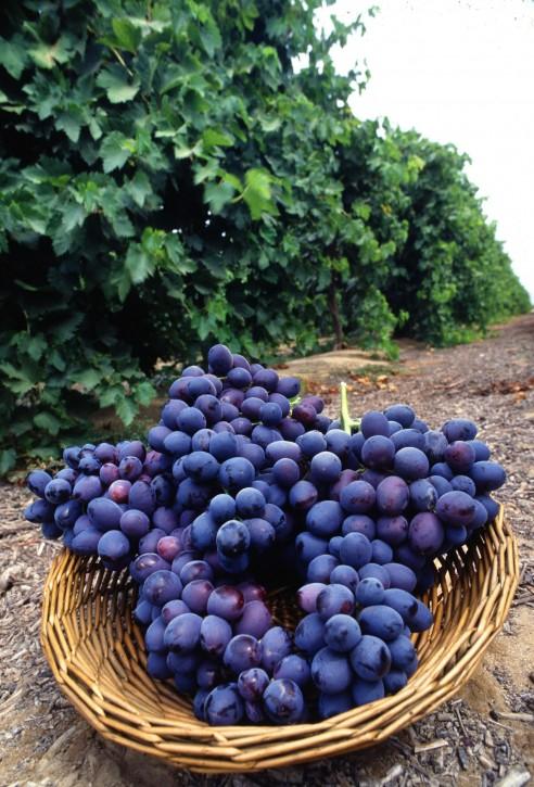 http://www.public-domain-image.com/cache/flora-plants-public-domain-images-pictures/fruits-public-domain-images-pictures/grapes-fruit-pictures/fresh-purple-grapes_w492_h725.jpg