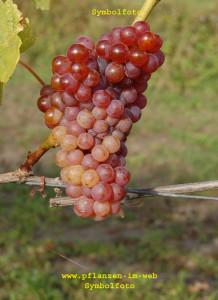 Source: http://www.pflanzen-im-web.de/pflanzen/pflanzen-suche/Obstgehoelze/Weinrebe-Criolla-Chica-Vitis-vinifera.php#