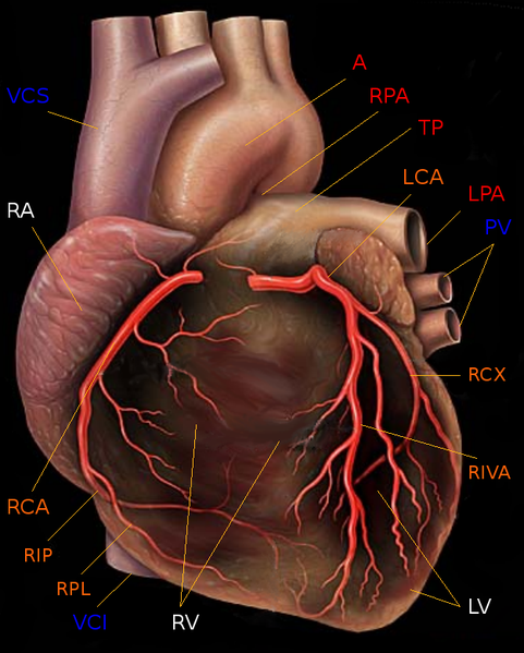 By Patrick J. Lynch (1999), modified by Christian 2003 (Yale University - School of medicine) [CC-BY-2.5 (http://creativecommons.org/licenses/by/2.5)], via Wikimedia Commons