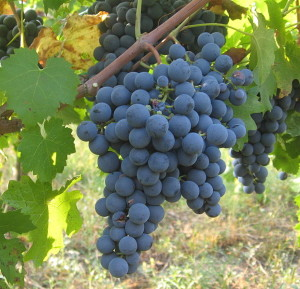 Carmenere Photo Credit: By Lebowskyclone (Own work) [CC-BY-SA-3.0 (http://creativecommons.org/licenses/by-sa/3.0) or GFDL (http://www.gnu.org/copyleft/fdl.html)], via Wikimedia Commons