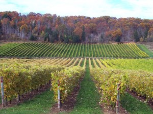 By James Ellison (Flickr: Gaspereau Vineyards, NS) [CC-BY-2.0 (http://creativecommons.org/licenses/by/2.0)], via Wikimedia Commons