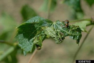 Leaf roll virus: Photo credit: William M. Brown Jr., Bugwood.org