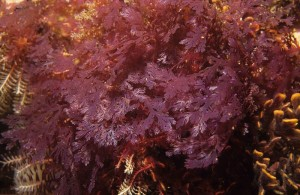 By Derek Keats from Johannesburg, South Africa (Red seaweed, Plocamium sp.) [CC-BY-SA-2.0 (http://creativecommons.org/licenses/by-sa/2.0)], via Wikimedia Commons