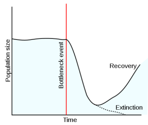 Population bottleneck:  Imagine the red line is when a small number of Carménère grapevines were moved from France to Chile.  What happens is that the genetic diversity drops significantly due to the drastically reduced population size in the new region.  Then, eventually propagation occurs in the new region, though may not recover to the same level of genetic diversity as the original population due to the lower population numbers to start. Photo by TedE [GFDL (http://www.gnu.org/copyleft/fdl.html), CC-BY-SA-3.0 (http://creativecommons.org/licenses/by-sa/3.0/), GFDL (http://www.gnu.org/copyleft/fdl.html) or GFDL (http://www.gnu.org/copyleft/fdl.html)], from Wikimedia Commons