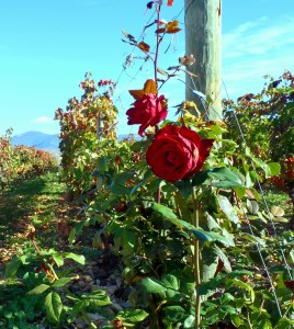 La Rioja vineyard.  Copyright R. Yeamans 2013.