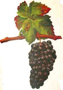 Photo from http://en.wikipedia.org/wiki/Trousseau_(grape)