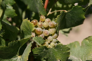 Photo By Bernt Rostad (originally posted to Flickr as Riesling grapes) [CC BY 2.0 (http://creativecommons.org/licenses/by/2.0)], via Wikimedia Commons