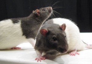 Photo By Jason Snyder from Washington, DC, United States (WT and TK rat photo) [CC BY 2.0 (http://creativecommons.org/licenses/by/2.0)], via Wikimedia Commons