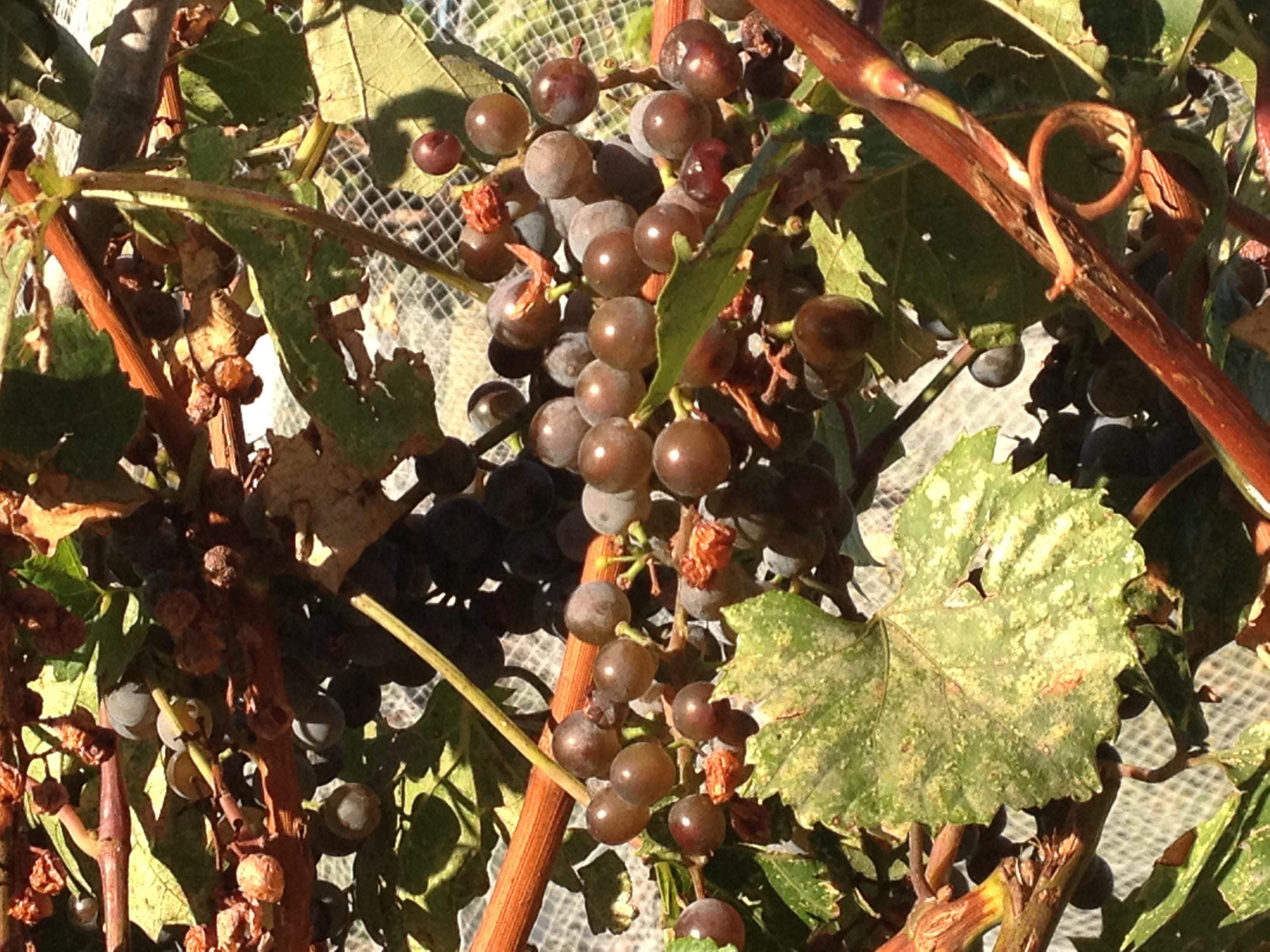 Grape Marquette: description, reviews