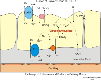 plant cell diagram and animal cell diagram pepsin duct cell diagram tannic acid in red wine effects on saliva production